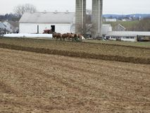 Фермер Амишей с командой ослов стоковые изображения