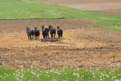 Фермер Амишей с лошадями стоковое фото rf