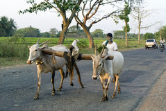 Фермер возвращает домой с волами Стоковое фото RF