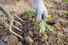 Фермер выкапывает засоритель вил злостый стоковые изображения rf