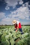 Фермер в поле капусты с голубым небом Стоковое Изображение RF