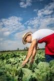 Фермер в поле капусты с голубым небом Стоковая Фотография