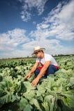 Фермер в поле капусты с голубым небом Стоковое Фото