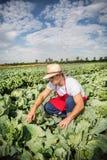 Фермер в поле капусты с голубым небом Стоковое Изображение