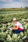 Фермер в поле капусты с голубым небом стоковые фото