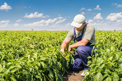 Фермер в полях перца Стоковые Фотографии RF