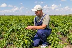 Фермер в полях перца Стоковое Изображение
