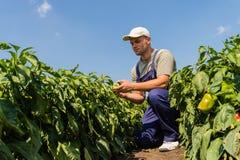 Фермер в полях перца Стоковая Фотография