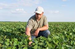 Фермер в полях сои Стоковые Изображения RF