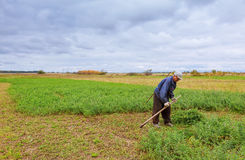 Фермер в старых одеждах косит траву в поле стоковое изображение rf