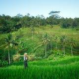 Фермер в террасах риса Бали, Индонезии Стоковое фото RF