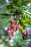 Фермер держа свежие lychees приносить, по месту вызванный Lichu на ranisonkoil, thakurgoan, Бангладеше Стоковое Фото