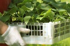 Фермер держит коробку свежих зеленых заводов огурца саженцев Стоковое Фото