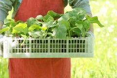 Фермер держит коробку свежих зеленых заводов огурца саженцев Стоковая Фотография RF