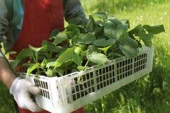 Фермер держит коробку свежих зеленых заводов огурца саженцев Стоковое фото RF