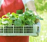 Фермер держит коробку свежих зеленых заводов огурца саженцев Стоковое Изображение