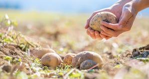 Фермер держит свежие картошки в его руках Сбор, органическая вегетарианская еда стоковые изображения rf