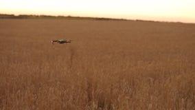 Фермер держит удаленный регулятор с его руками пока quadcopter летает на предпосылку Fliew трутня прочь в пшеничном поле видеоматериал