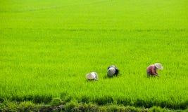 Фермер женщин Вьетнама работая на обрабатываемой земле неочищенных рисов. Стоковое Изображение