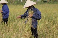 Фермер жмет рисовую посадку Стоковое Изображение