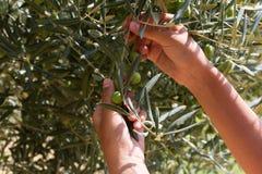 Фермер жмущ и выбирающ оливки на прованской ферме Стоковое Изображение