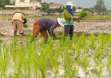 Фермер засаживает рис Стоковые Фотографии RF