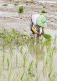 Фермер засаживает рис Стоковые Изображения RF
