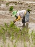 Фермер засаживает рис Стоковое фото RF
