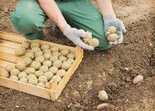 Фермер засаживая картошки в земле Стоковые Фото