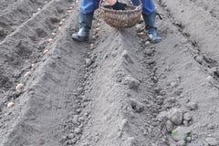 Фермер засаживая картошки в землю Стоковые Изображения