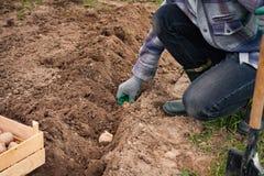 Фермер засаживая картошки молодого завода в земле в саде Стоковая Фотография
