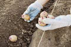 Фермер засаживая картошки ростков в земле Стоковые Фото