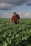 Фермер или agronomist проверяют завод зеленой сои в поле стоковые изображения