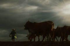 Фермер и коровы на заходе солнца Стоковое Изображение RF