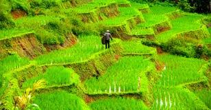 Фермер и рисовые поля Стоковые Изображения RF