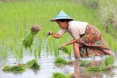 Фермер Карена засаживая новый рис стоковое изображение rf