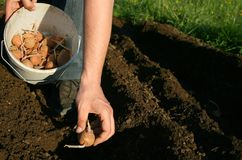 Фермер картошки Стоковое фото RF