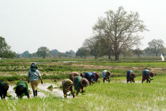 Фермер Мьянмы работая в ricefield Стоковое Изображение RF