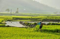 Фермер на поле риса в Вьетнаме Стоковые Изображения