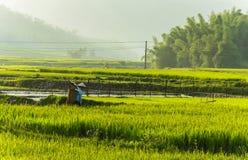 Фермер на поле риса в Вьетнаме Стоковые Фотографии RF