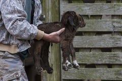 Фермер нося newborn двойных коз младенца Стоковые Фотографии RF