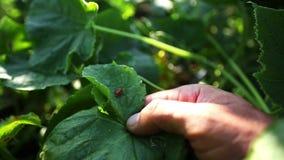 Фермер показывая ladybugs спаривает на лист на органической ферме акции видеоматериалы