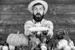 Фермер представляя свежие овощи Фермер с доморощенным стержнем кукурузного початка сбора в руках мужского фермера defocused Свежа стоковые изображения rf