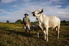 Фермер принимает коров заботы стоковая фотография