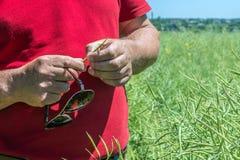 Фермер пробует стручок рапса с его руками и подсчитывает сколько фасолей там, проверяет для присутсвия вредных насекомых a стоковые изображения