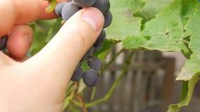 Фермер проверяет виноградины для спелости акции видеоматериалы