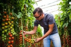 Фермер проверяя красные томаты вишни жмет для собрания в парнике Стоковая Фотография