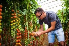 Фермер проверяя красные томаты вишни жмет для собрания в парнике Стоковая Фотография RF