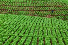 Фермер работает в поле капусты Стоковые Фото