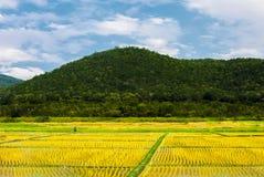 Фермер работает на желтом красивом поле риса стоковое изображение rf